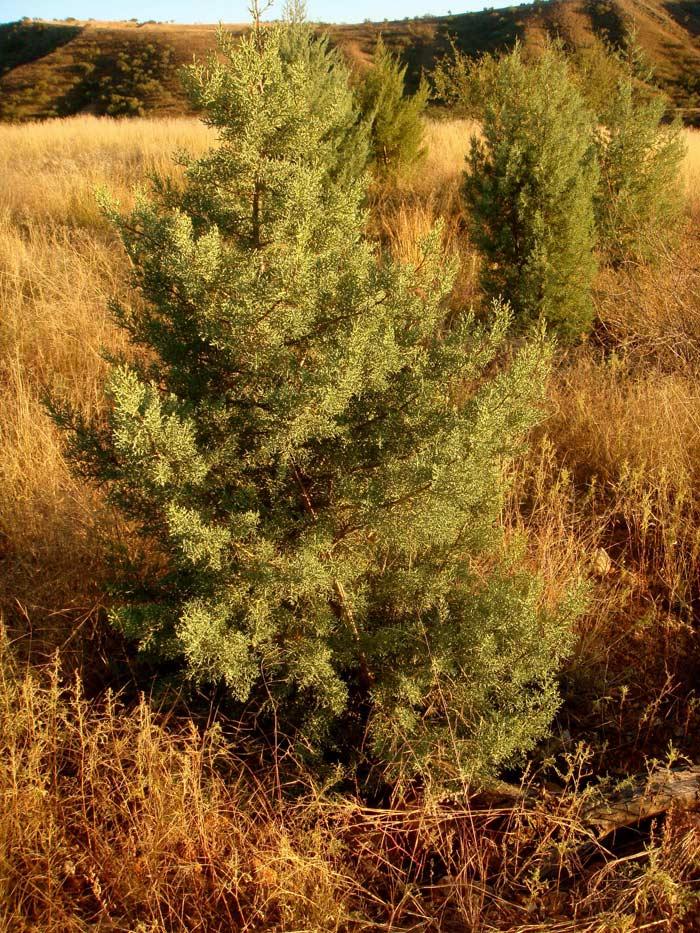 Large Arizona Cypress