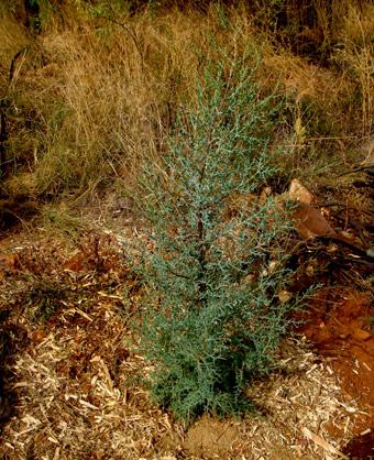 Medium Arizona Cypress